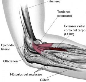 Anatomía del codo: Epicóndilo lateral y Extensor Radial corto del Carpo